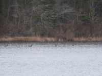 Canada geese and mallard ducks in main pond (Feb 2020)