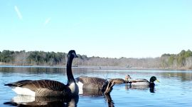 Canada geese and mallard ducks, main pond, Unexpected Wildlife Refuge photo