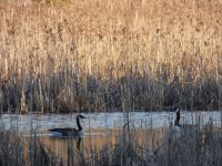 Canada geese, Unexpected Wildlife Refuge photo