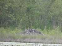 Canada geese on a beaver lodge in the main pond (May 2020)