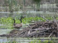 Canada geese on beaver lodge in Miller Pond (Jun 2020)