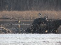 Canada goose, belted kingfisher and tree stump in main pond (Mar 2020)