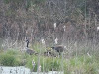 Canada geese, family with babies and nest, edge of Miller Pond (Apr 2020)