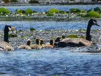 Canada goose family in main pond, Unexpected Wildlife Refuge photo