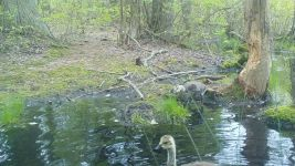 Canada goose family series on 11th near Wild Goose Blind, 3, trail camera photos (May 2020)