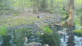 Canada goose family series on 11th near Wild Goose Blind, 4, trail camera photos (May 2020)
