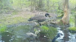 Canada goose family series on 11th near Wild Goose Blind, 8, trail camera photos (May 2020)