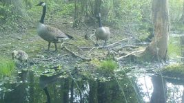 Canada goose family series on 20th near Wild Goose Blind, 4, trail camera photos (May 2020)
