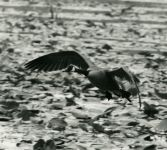 Canada goose flying over main pond, photo by Richard Rosenberg (1985)