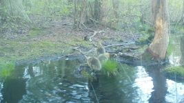 Canada goose goslings series on 9th near Wild Goose Blind, 1, trail camera photos (May 2020)