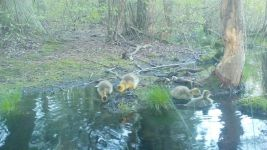 Canada goose goslings series on 9th near Wild Goose Blind, 2, trail camera photos (May 2020)
