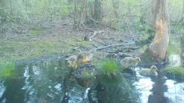 Canada goose goslings series on 9th near Wild Goose Blind, 3, trail camera photos (May 2020)