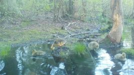 Canada goose goslings series on 9th near Wild Goose Blind, 4, trail camera photos (May 2020)