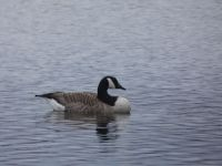 Canada goose, grooming sequence (1), main pond (Mar 2020)