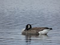 Canada goose, grooming sequence (4), main pond (Mar 2020)