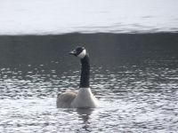 Canada goose in main pond (Jan 2018)