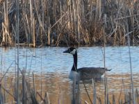 Canada goose in Miller Pond (Feb 2019)
