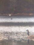 Canada goose and mute swan in main pond, Unexpected Wildlife Refuge photo