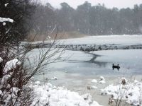 Canada geese in partially frozen and snow-covered main pond (Nov 2009)