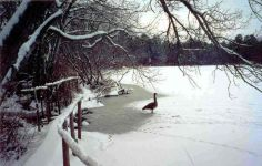 Canada goose standing on frozen, snow-covered main pond (Nov 2009)