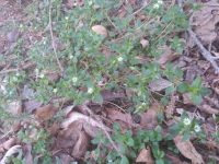 Chickweed near cabin (Apr 2019)