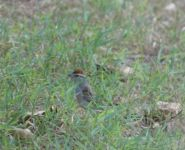Chipping sparrow, Unexpected Wildlife Refuge photo