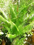 Cinnamon fern, Unexpected Wildlife Refuge photo