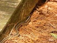 Common garter snake 01 (Jul 2018)