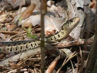 Common garter snake near Station 13 (May 2020)