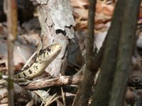 Common garter snake, Unexpected Wildlife Refuge photo
