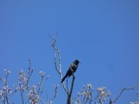 Common grackle at Headquarters (May 2020)