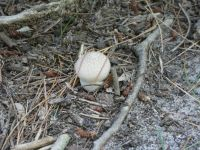 Common puffball mushroom near Miller House (Jul 2020)