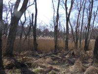 Common reed stand near Station 12 (Apr 2020)