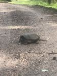 Common snapping turtle crossing Buck Road (our entrance lane) (Jun 2020)