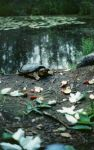 Common snapping turtle, photo by Lorraine Marozzi (1994)
