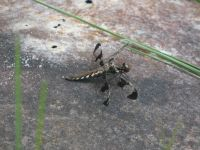 Common whitetail dragonfly, female, near Headquarters (May 2020)