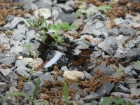 Common whitetail dragonfly, male, near Headquarters (Jun 2020)