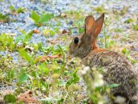 Cottontail rabbit, Unexpected Wildlife Refuge photo