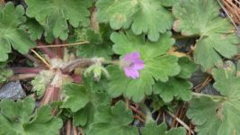 Cranesbill, Unexpected Wildlife Refuge photo