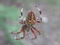 Cross spider near the Miller House, photo by Dave Sauder (Sep 2019)