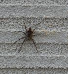 Dark fishing spider with only 7 legs, at Headquarters (Mar 2020)