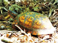 Eastern box turtle, Unexpected Wildlife Refuge photo
