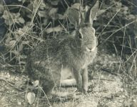 Eastern cottontail rabbit, photo by Bob Repenning (1972)