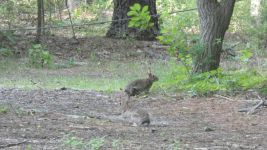 Eastern cottontail rabbits, Unexpected Wildlife Refuge photo