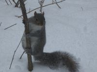 Eastern gray squirrel in snow, Unexpected Wildlife Refuge photo