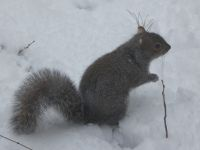 Eastern gray squirrel in the snow (Feb 2019)