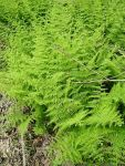 Eastern hayscented fern, Unexpected Wildlife Refuge photo