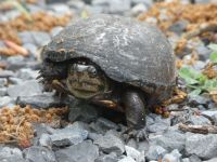 Eastern mud turtle 1 nesting near Headquarters (Jun 2020)