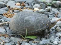 Eastern mud turtle 2 nesting near Headquarters (Jun 2020)