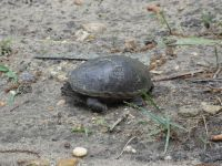 Eastern mud turtle 3 nesting near Headquarters (Jun 2020)